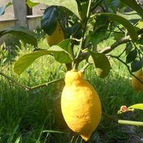 Лимон Комнатный (Новогрузинский)