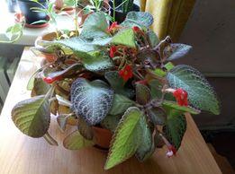 эписция медная, взрослое растение с горшком.