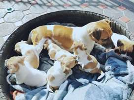 Thorough bred jack russel puppies