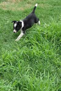 Image of Pure Bred Border Collie Male Puppies