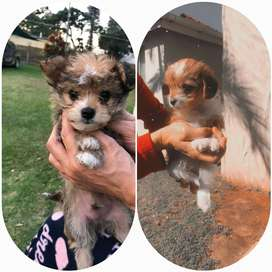 Yorkie puppies for sale 7weeks old 1 male 1 female