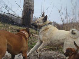 Вязка. Кобель западно-сибирской лайки.