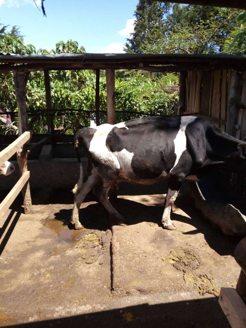 Dairy cows -ayshire and fresian 0