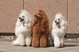 Psi fryzjer, strzyzenie Psów