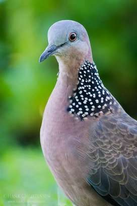Looking for a pair of spotted dove's