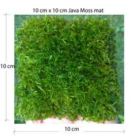 Java Moss mats, grown through gauze.