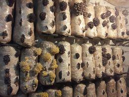 Зарощенные грибные блоки ВЕШЕНКИ