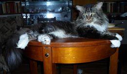 Шикарный кот мейн кун (вязка)