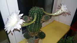 Продаю кактус (детки) очень большой и красивый