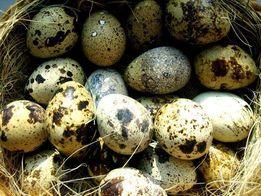 Яйцо инкубационное белого техасского бройлерного перепела (Николаев)