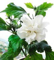 Гибискус белый махровый, китайская роза, комнатный