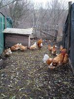 Куры Мини мясные палевые В 77 инкубационное яйцо
