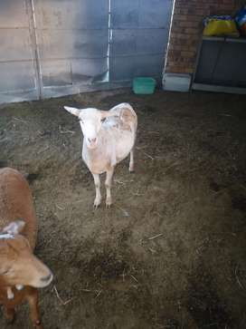 Meatmaster Ram and Ewe for sale
