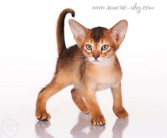 Абиссинский котенок - американский тип Киев - изображение 3