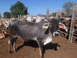 Am selling a female cow