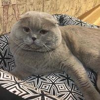 Лиловый вислоухий кот ,вязка