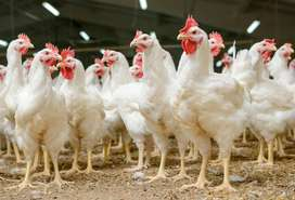 Broilers and corish hens for sale