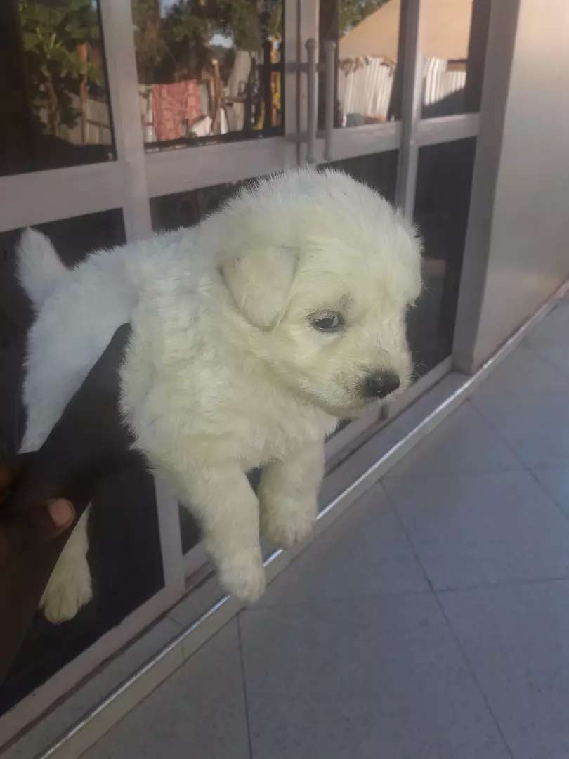 Puppy for sale 0