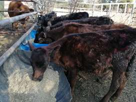 Beautiful cattle for sale
