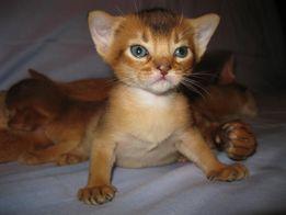 Абиссинские котята - хорошее настроение навсегда.