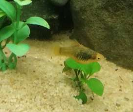 Young and healthy platy fish for sale