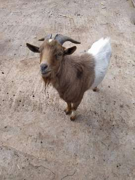 Goat Ram excellent breed for
