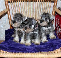 Высокопородные щенки цвергшнауцера от титулованных родителей