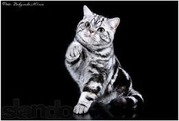 Вискасные котята из питомника