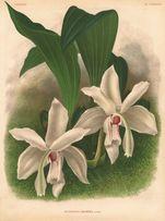 ORCHIDEE-KWIATY reprodukcje XIX w. grafik do wystroju wnętrz