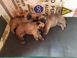 German shepherds puppies for sale