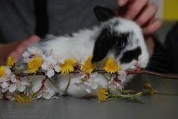 Карликовый декоративный кролик вислоухий баранчик