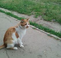 Отдам рыже - белую кошку, 7 месяцев