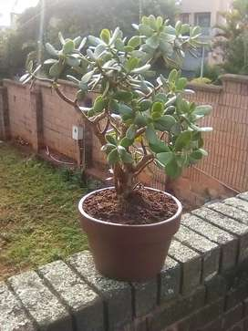 Jade plant in pot. Bonssi