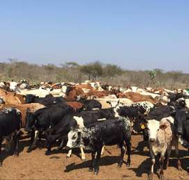Cattles, Goats, Sheep and Ostriches available