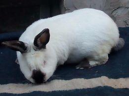 в породе кролики калифорния