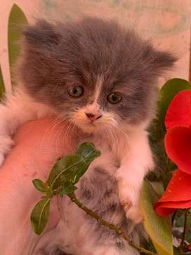FLUFFY PERSIAN KITTENS FOR SALE -R5500.00