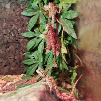 Agama brodata orange red młode 1,5 miesiąca, Agamy brodate