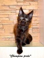 Лучшие котята породы мейн-кун по доступно низкой , новогодней цене.