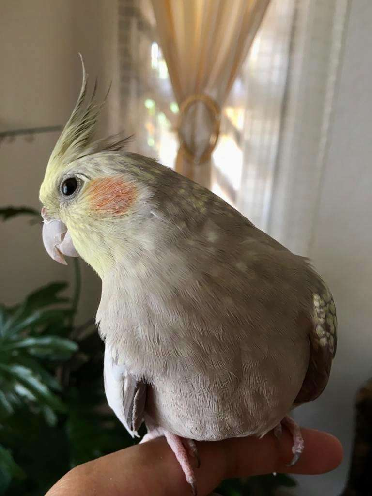 Hand reared cockatiel for sale 0