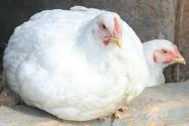 Broiler/Braai Chicken for sale, only R 60