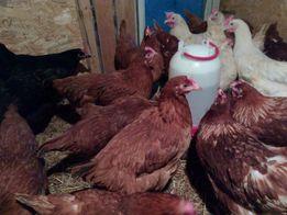 Kury nioski od 18 tyg. kurczaki, Gęsi , kaczki , indyki,