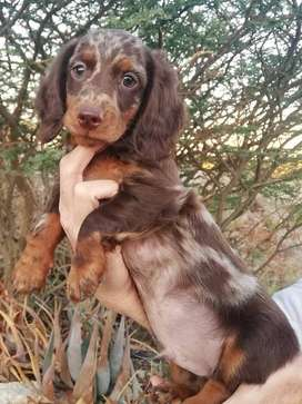 Stunning chocolate and choc dapple dachshund puppies.