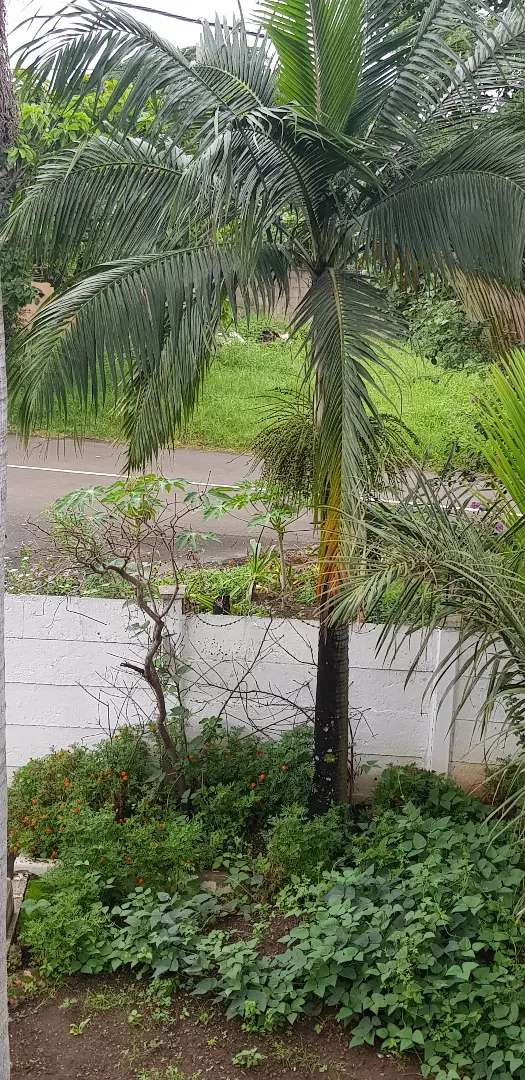 Palm trees for Sale 0