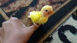 Love birds for sale 550 for (both for sale not each)