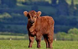 I am looking for calves