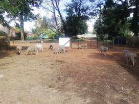 Sheep for sale from R1500 upwards