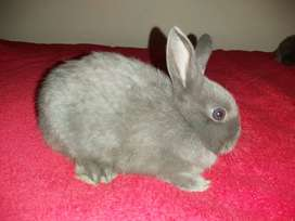 9 weeks dwarf bunnies for urgent sale