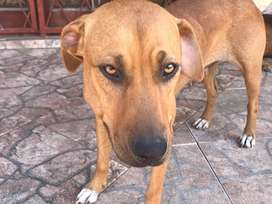 Ridgeback crossbreed female looking for a loving home