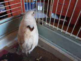 WHITE QUAIL FOR SALE OR SAWP FOR BIRD