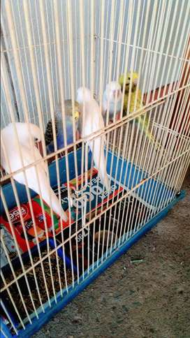 Budgies with cage babies